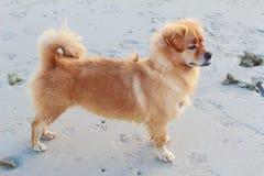 在海滩的狗毛茸的身分 免版税库存照片