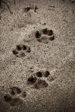 在海滩的狗的脚印 库存图片