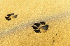 在海滩的狗脚印 免版税库存图片