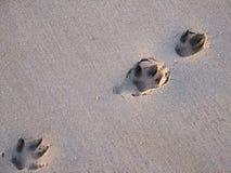 在海滩的狗脚印 库存图片