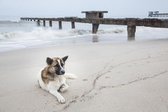 在海滩的狗 免版税图库摄影