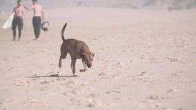 在海滩的狗 股票视频