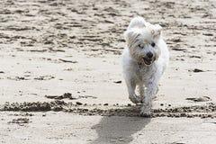 在海滩的狗 图库摄影