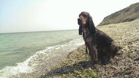 在海滩的猎犬 免版税库存照片