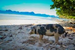 在海滩的猪 库存图片