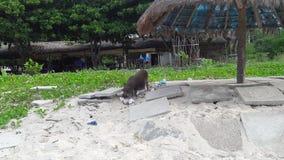 在海滩的猪 库存照片