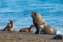 在海滩的男性海狮封印画象 免版税库存照片