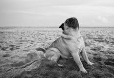 在海滩的白色哈巴狗姿势 库存照片