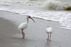 在海滩的白色朱鹭 免版税库存图片