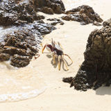 在海滩的白色螃蟹 库存图片