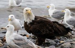 在海滩的白头鹰 库存图片