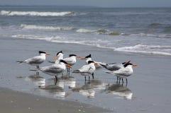 在海滩的皇家燕鸥 免版税库存图片