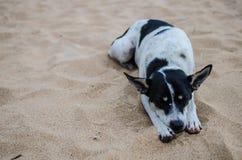 在海滩的睡觉狗 免版税库存图片