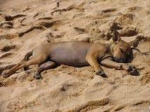 在海滩的睡觉离群小狗 库存图片