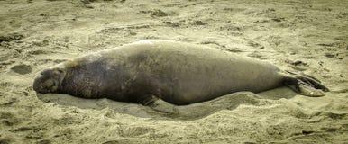 在海滩的硕大海象 免版税库存照片