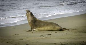 在海滩的硕大海象 库存照片