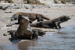 在海滩的科莫多巨蜥在科莫多国家公园 免版税库存图片
