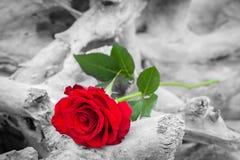 在海滩的红色玫瑰 反对黑白的颜色 爱,浪漫史,忧郁概念 免版税库存图片