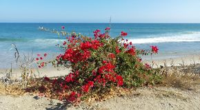 在海滩的红色花 图库摄影