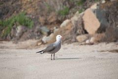 在海滩的美丽的海鸥 免版税库存照片