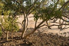 在海滩的美洲红树树 免版税库存图片