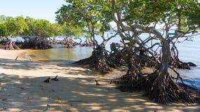 在海滩的美洲红树树 库存图片