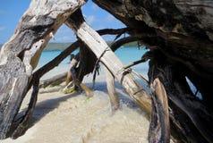 在海滩的美洲红树沼泽 库存照片
