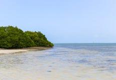 在海滩的美洲红树 免版税库存照片