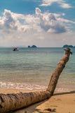 在海滩的老棕榈树 库存照片