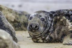在海滩的肥胖多斑点的灰色封印Halichoerus grypus 库存照片