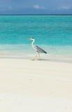 在海滩的苍鹭 免版税库存图片