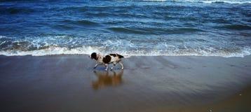 在海滩的英国斯伯林格西班牙猎狗 库存照片