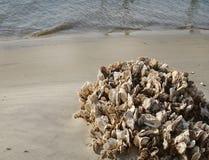 在海滩的蚝壳群 免版税库存图片