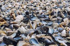 在海滨的蛤壳状机件品种 图库摄影