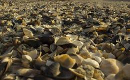 在海滩的蛤壳状机件 库存图片
