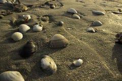 在海滩的蛤壳状机件 免版税库存照片