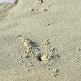 在海滩的螃蟹 库存照片