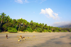 在海滩的袋鼠 免版税库存图片