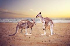 在海滩的袋鼠 库存照片