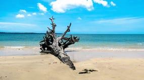 在海滩的被连根拔的树 免版税库存照片