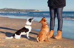 在海滩的训练狗 免版税库存照片