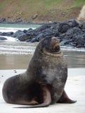 在海滩的象海豹在新西兰 免版税库存照片
