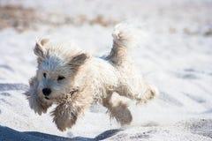 在海滩的跳跃的狗 免版税库存图片