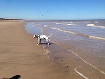 在海滩的达尔马提亚狗 库存照片