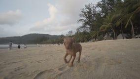 在海滩的逗人喜爱的微型短毛猎犬小狗 股票视频