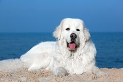 在海滩的逗人喜爱的白色狗 擦亮Tatra护羊狗 库存图片