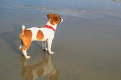 在海滩的逗人喜爱的起重器罗素小狗 免版税库存图片