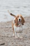 在海滩的逗人喜爱的贝塞猎狗 免版税库存照片