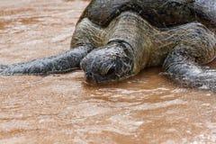 在海滩的野生乌龟斯里兰卡 免版税库存照片