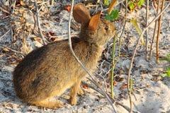 在海滩的野生兔子 免版税库存图片